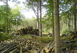 Blean Woods, Canterbury, sourcing the wood.